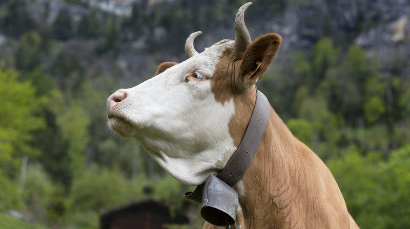 Point de vue d'Yves Sandoz: «Burqa et vaches à cornes: même combat?»