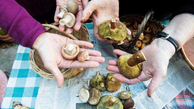 Maigres récoltes à l'heure de la faire valider par Mélika Borel, contrôleuse officielle de champignons, à Bevaix