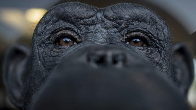 C'est l'Université de Neuchâtel qui le dit, les chimpanzés peuvent améliorer leurs outils
