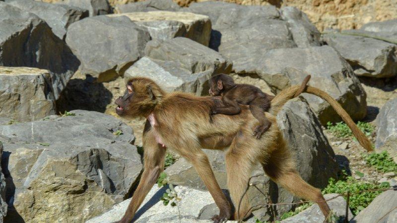 Animaux: sept petit géladas sont nés dernièrement au zoo de Zurich