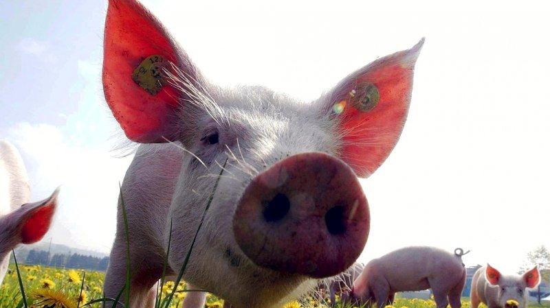 La Chaux-de-Fonds: l'enclos saisonnier des trois (petits) cochons était-il illicite?