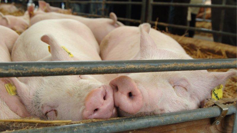 Deux cochons à la sieste lors d'une foire.