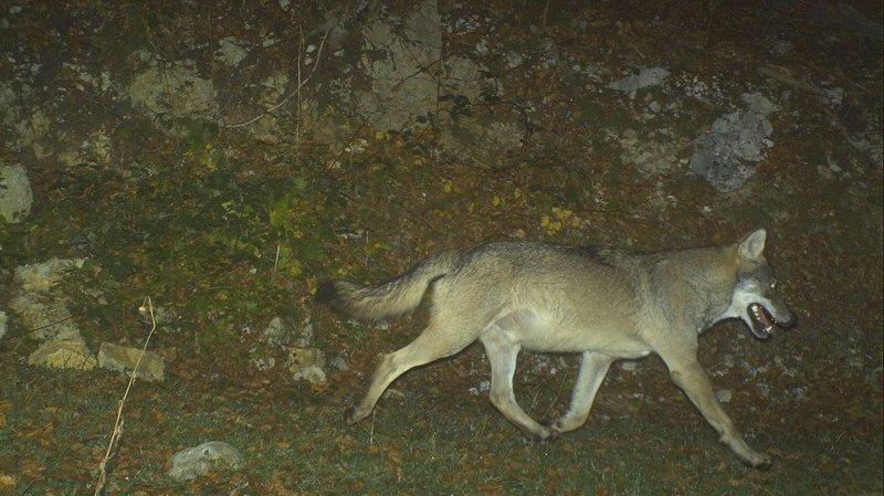 Voici le loup qui rôde dans le Jura franco-suisse!