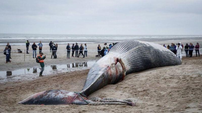 Une baleine de 18 m s'échoue sur une plage belge: autopsie en cours
