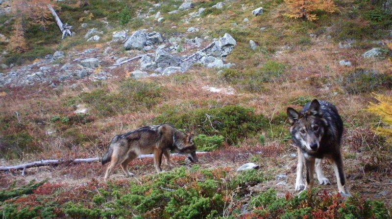 Faune: la population des loups augmente rapidement en Europe