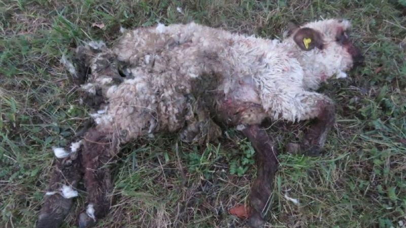 Un chien tue deux moutons à Oberhofen (AG)