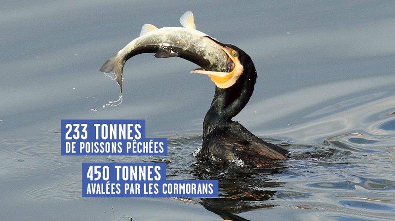 Les cormorans auront-ils la peau des pêcheurs du lac de Neuchâtel?