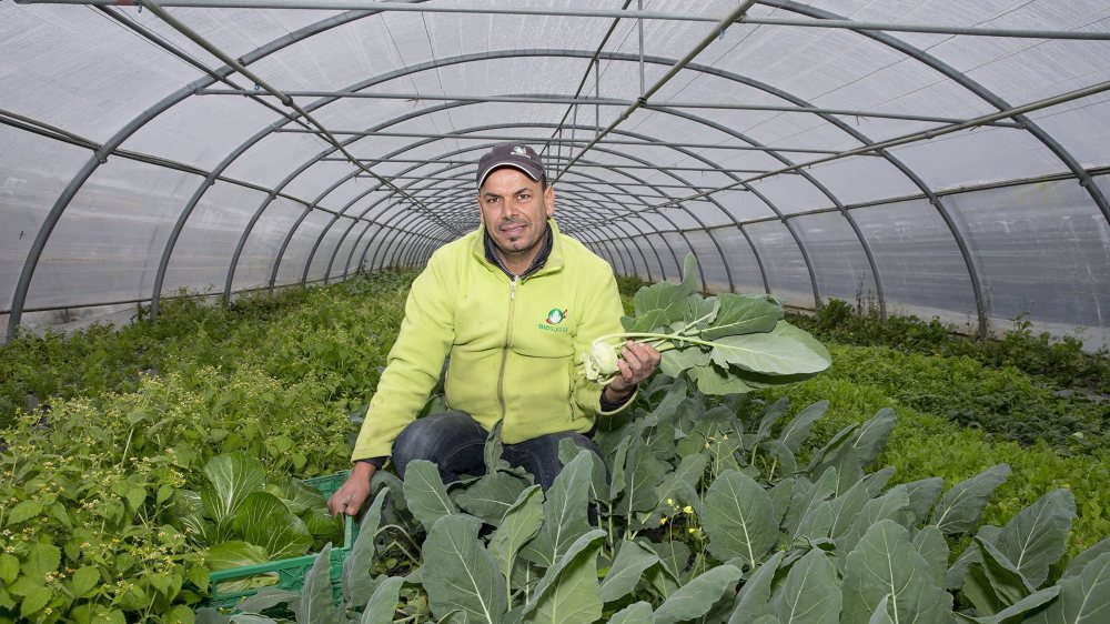 Même durant la saison froide, les fruits et légumes fleurissent dans les serres d'Ahmed Kalkoul.