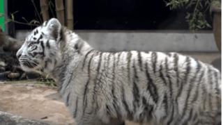 Trois nouveaux jeunes tigres blancs au Siky Park à Crémines