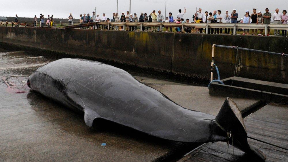 La chasse à la baleine.