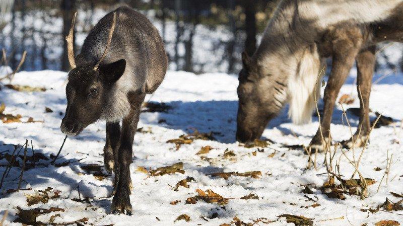 Climat: l'Arctique se réchauffe, les caribous disparaissent