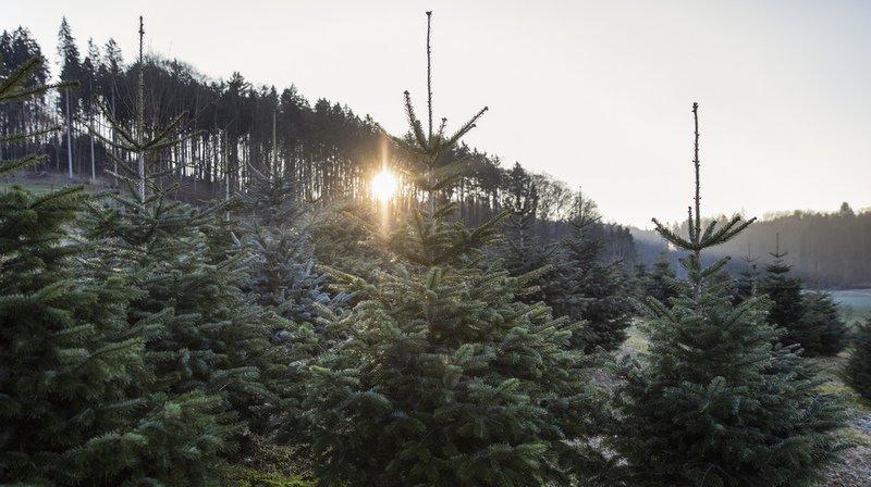 En Suisse, plus d'un million de sapins de Noël sont vendus chaque année.