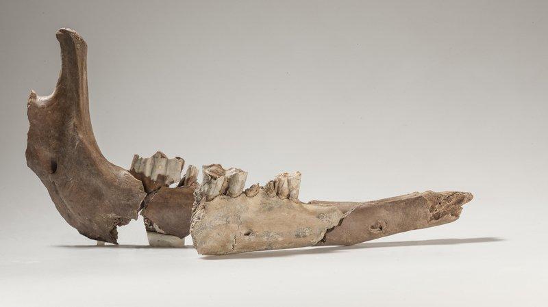 Des os de la mâchoire d'un chameau de l'époque romaine découverts à Bâle
