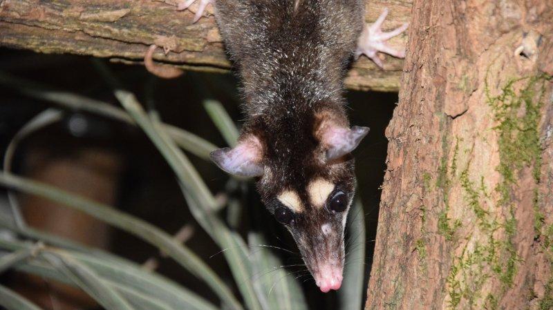 Des opossums gris à quatre yeux au Papiliorama de Chiètres