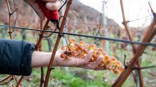Les vins doux neuchâtelois, c'est aussi un exercice de style