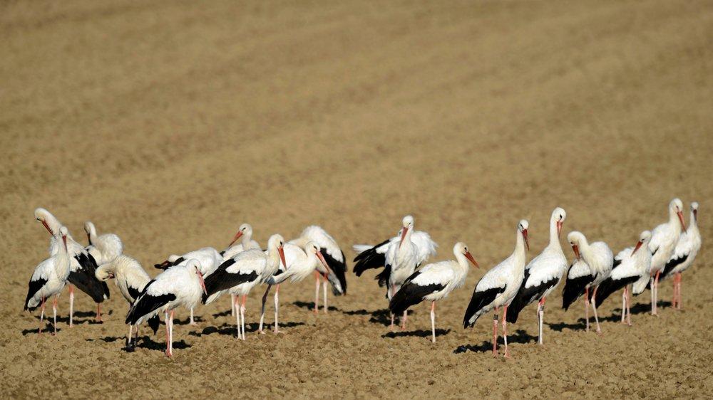 Certaines espèces d'oiseaux se portent de mieux en mieux. C'est le cas de la cigogne, notamment.