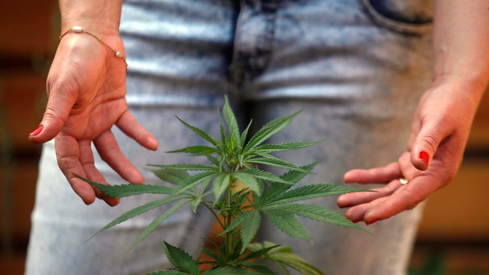 Les vertus du cannabis et son éventuelle libéralisation médicale suscitent l'intérêt des firmes pharmaceutiques.