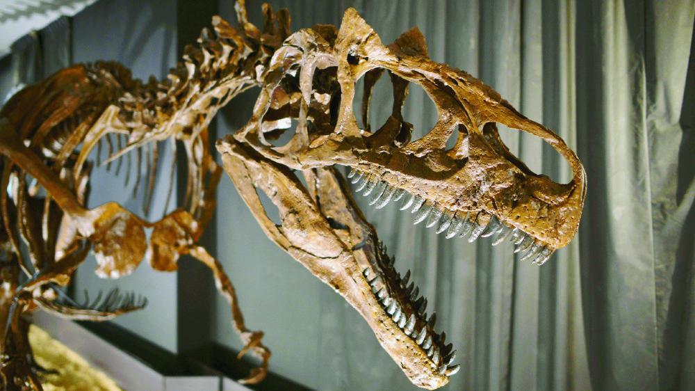 Un moulage de squelette d'allosaure.