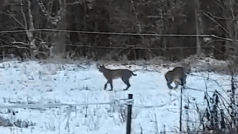 Les trois animaux ont été aperçus par un automobiliste.