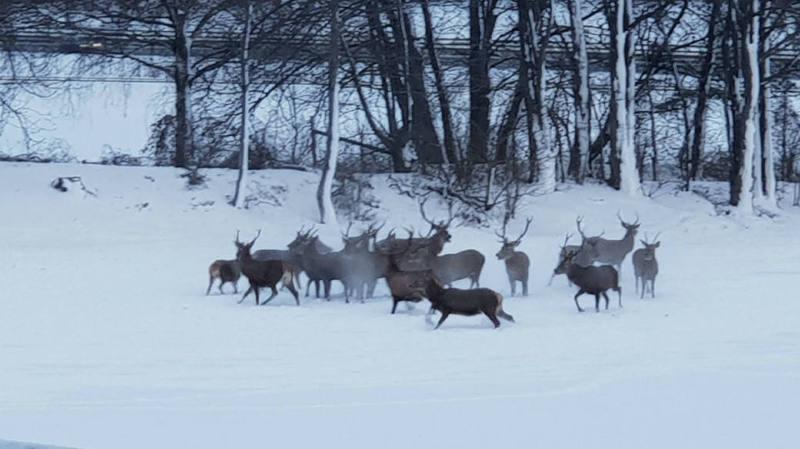 Grisons: une harde d'une quinzaine de cerfs perturbe la circulation près de Coire