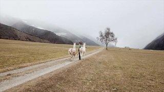 Trekking avec des lamas dans les Grisons