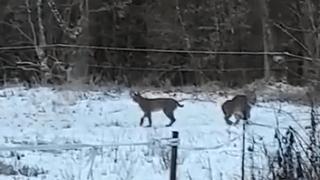 Une mère lynx et ses deux petits filmés en Franche-Comté