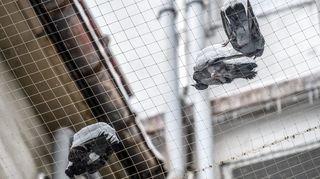 Les pigeons meurent toujours à La Chaux-de-Fonds