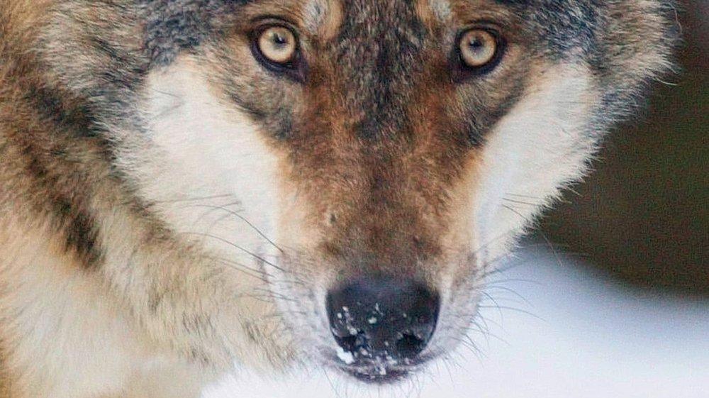 Le 10 février, le loup sera la cible d'une initiative populaire en Uri.