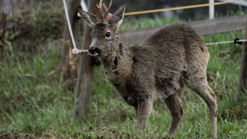 Val-de-Travers: quand les chevreuils vous coupent la priorité
