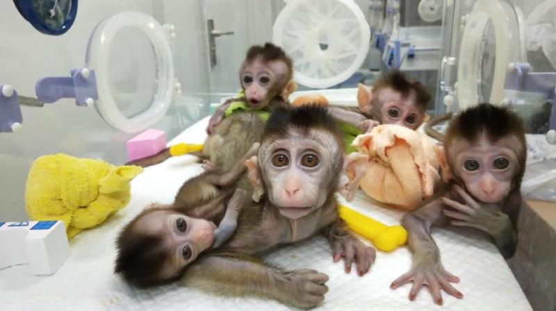 Chine: des scientifiques ont cloné cinq singes pour la recherche médicale