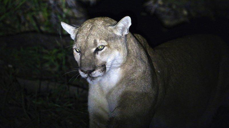 Le puma s'est jeté sur le coureur, l'a mordu au visage et au poignet. Les pumas ont fait trois morts et seize blessés au Colorado (Etats-Unis) depuis 1990 (archives).