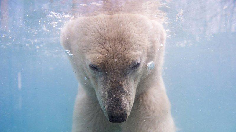 Russie: une île arctique décrète l'état d'urgence face à l'invasion d'une cinquantaine d'ours polaires