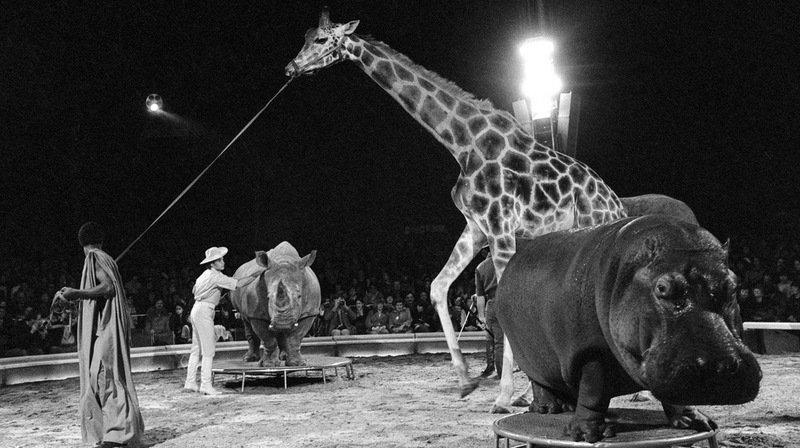 Retour sur l'histoire du Cirque Knie. Le 15 mars 1980, Fredy Knie junior présente au public quatre mammifères africains: Malik la girafe, Zeila le rhinocéros, Juba le hippopotame et Malajka l'éléphant.
