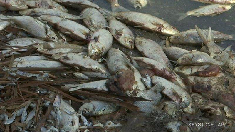 Plus d'un million de poissons sont morts en raison de cette vague de chaleur.