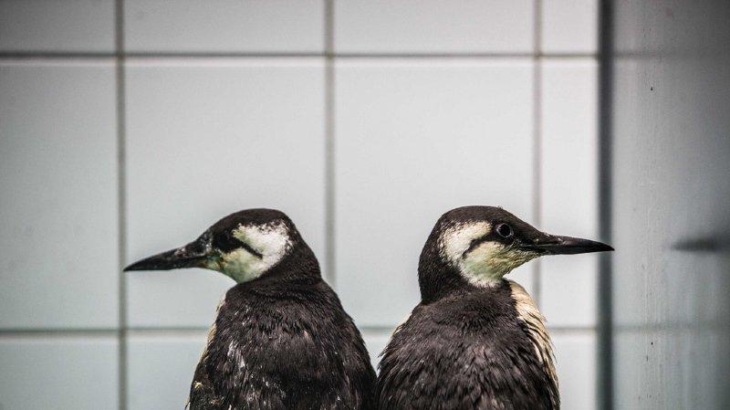 Pays-Bas: 20'000 oiseaux marins, des guillemots, retrouvés morts de faim sur les plages
