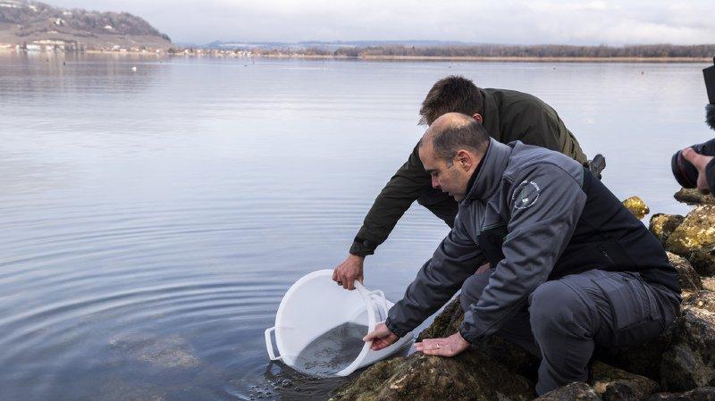 Des alevins d'anguilles ont été relâchés ce vendredi dans le lac de Morat.