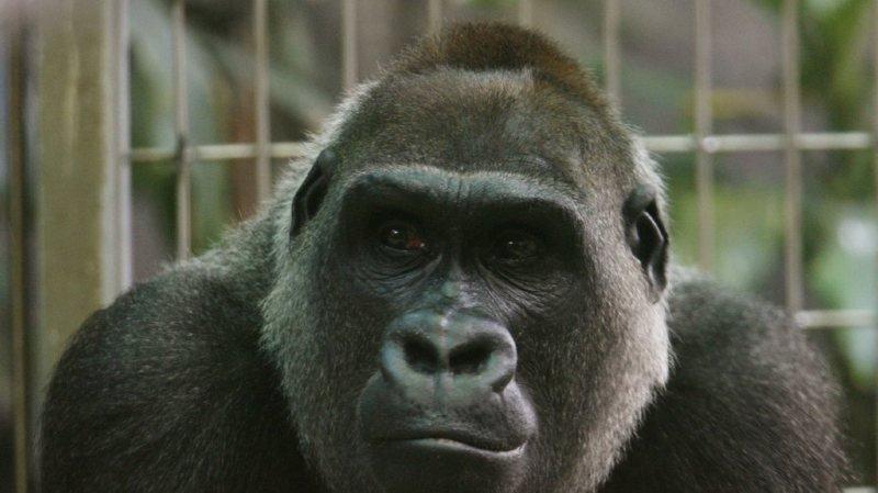 Mamitu était la femelle la plus âgée du groupe de gorilles des plaines de l'ouest du zoo de Zurich. (archives)