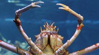 Etats-Unis: la mutation impressionnante d'un crabe-araignée japonais en 30 secondes