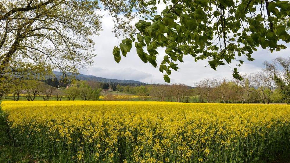 Un champ de colza à Boudry.