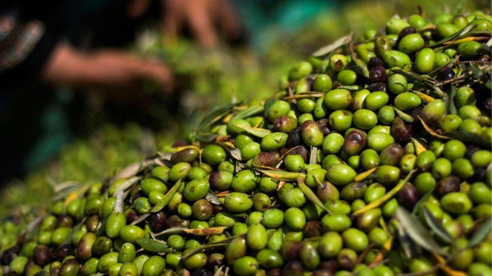 Moyennant 50 euros par an, il est possible d'adopter un olivier à Oliete, pour sauvegarder les arbres  centenaires.