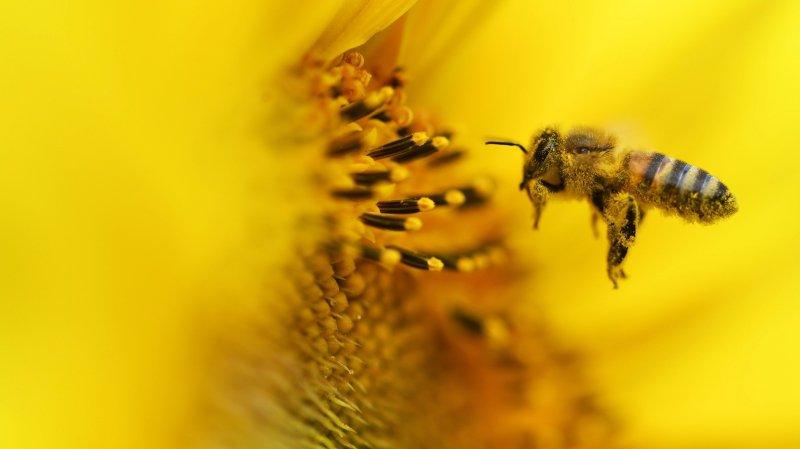 La pollinisation a déjà commencé dans nos régions.