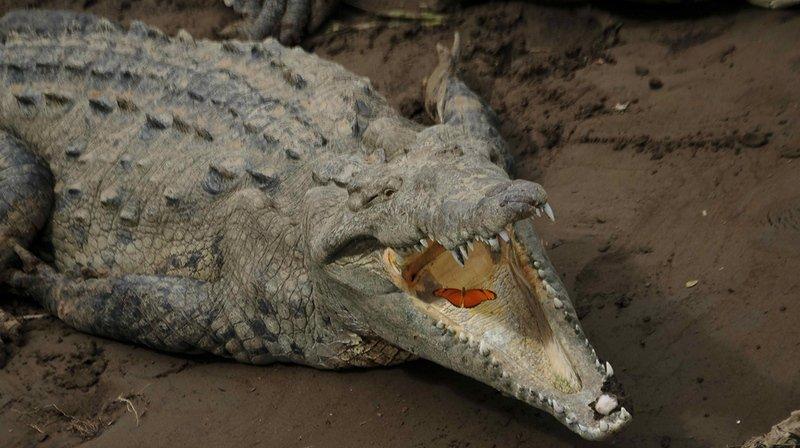 Les crocodiles d'eau salée, qui peuvent mesurer jusqu'à sept mètres de long, ont été accusés d'une série d'attaques ces dernières années en Malaisie. (Archives)