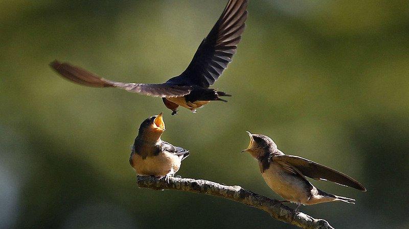 Ornithologie: population invitée à signaler la présence de six oiseaux migrateurs