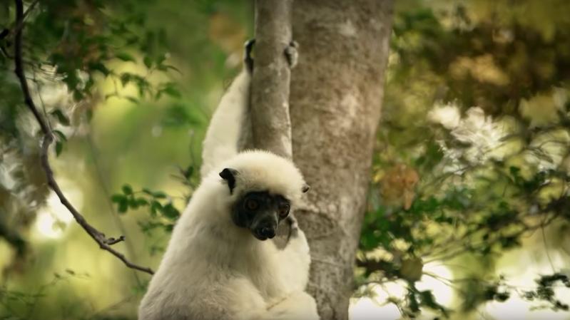 Le propithèque couronné vit à Madagascar, au coeur des forêts sèches et de la mangrove.