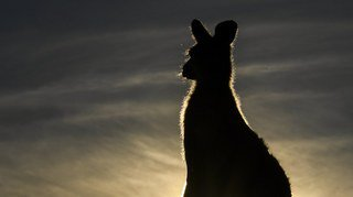 La police danoise à la recherche d'un kangourou