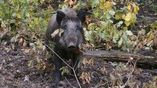 Jura: route fermée en Ajoie pour traquer les sangliers