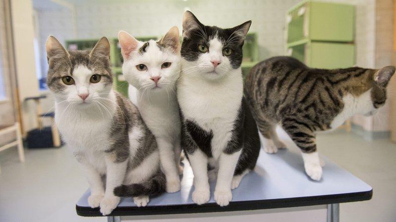 La Société protectrice des animaux, à La Chaux-de-Fonds, engage les propriétaires à faire stériliser ou castrer leur chat.