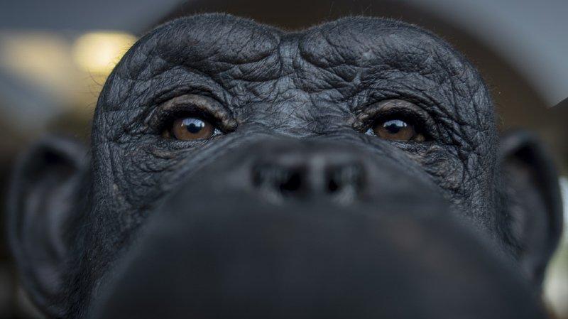 L'étude compile un ensemble de 31 comportements de chimpanzés provenant de 144 groupes sociaux ou communautés.