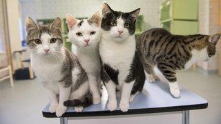 La Chaux-de-Fonds: une aide de la SPA pour faire stériliser son chat