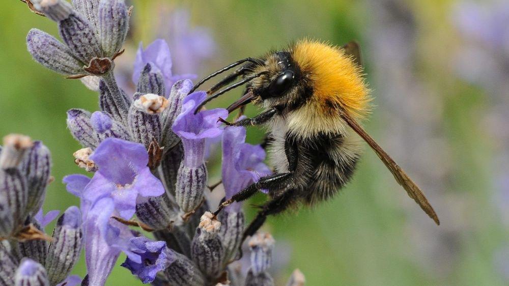 Un canton sans pesticides pour favoriser les pollinisateurs?